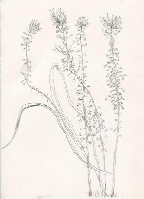 Botanical studio, ink on paper